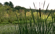 cattails bu an andover lake, photo courtesy of Bob Smith